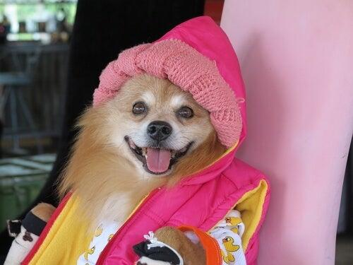 Pies w ubranku.