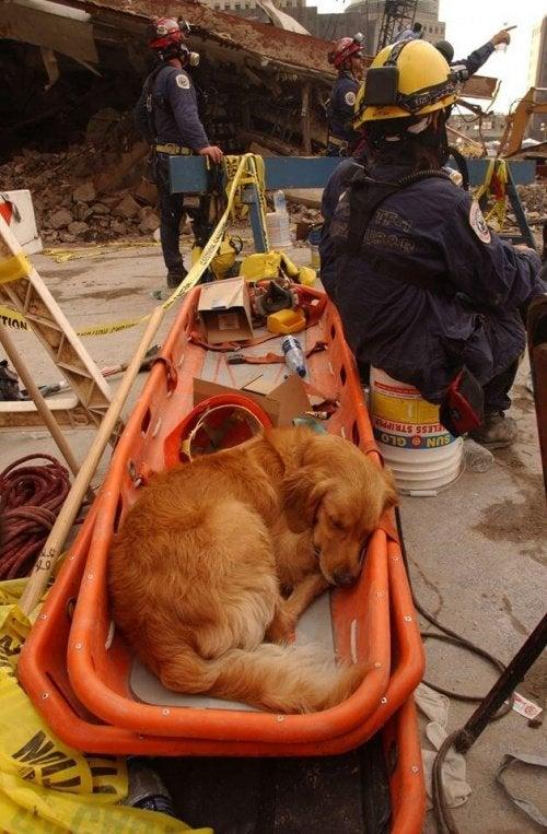 pies ratunkowy
