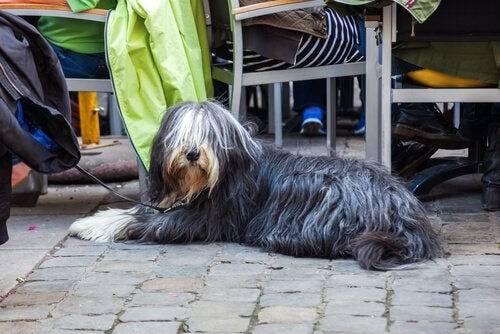 Restauracje dla psów, pies leży przy stoliku właściciela