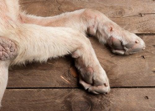 psie poduszki łap