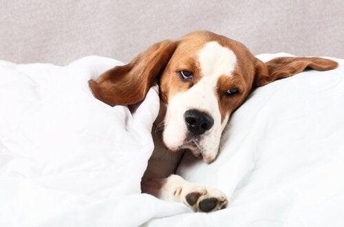Pies śpi pod kołdrą