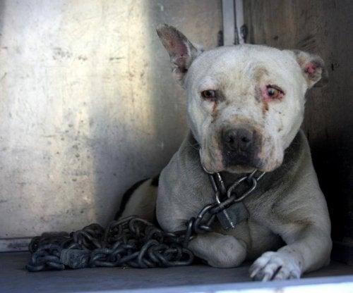 Los psa trzymanego przez 2 lata na łańcuchu odmieniony