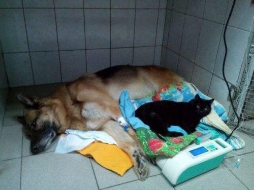 Lucyfer Sparaliżowany Kot Pomaga Innym Twoje Zwierzęta