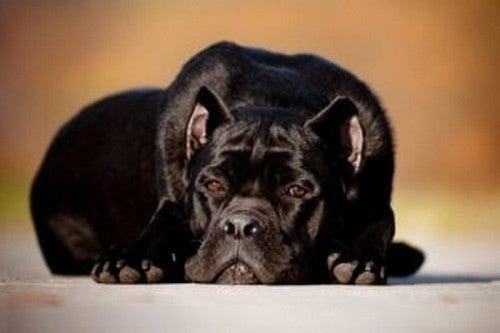 Zasmucony pies a lek separacyjny u psa