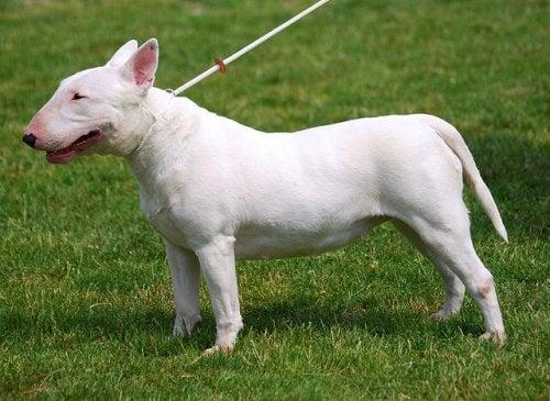 Biały bulterier na trawie