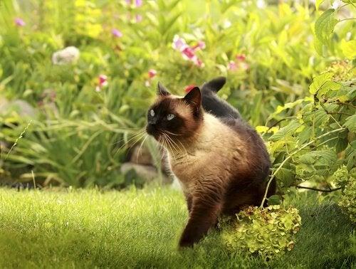 Kot syjamski wśród zieleni