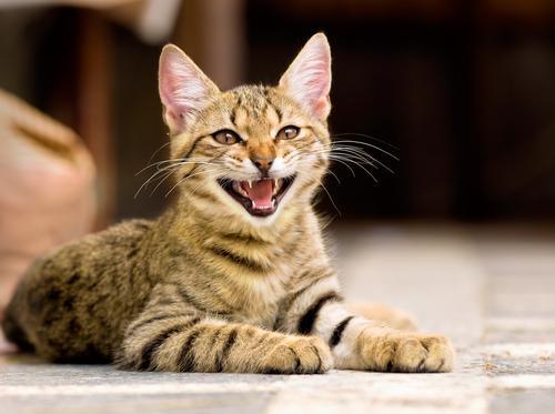 mały kot otwiera paszczę