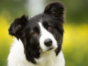 pies przekręca głowę słuchając właściciela