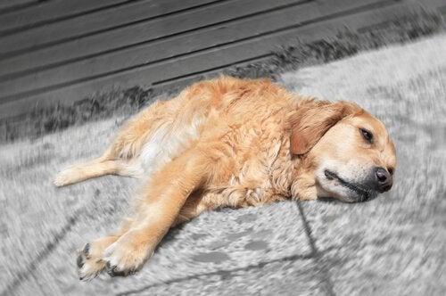 Niedobór płytek krwi u psa - jak zwiększyć ich ilość
