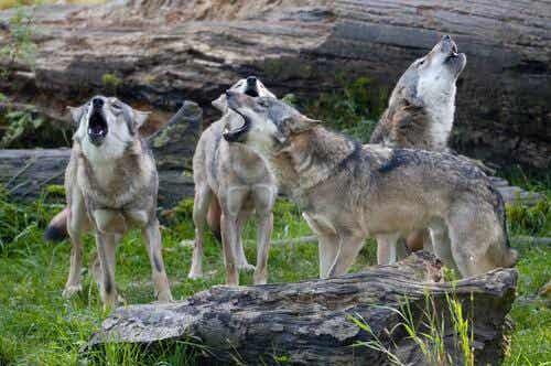 Wataha - czyli jak zachowują się wilki w grupie?