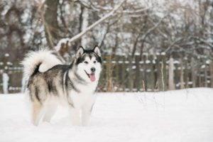 śnieg i husky