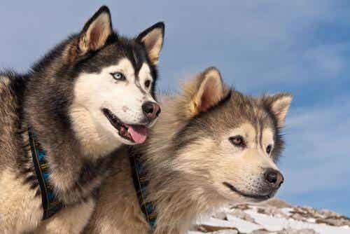 Alaskan malamute a husky syberyjski - różnice