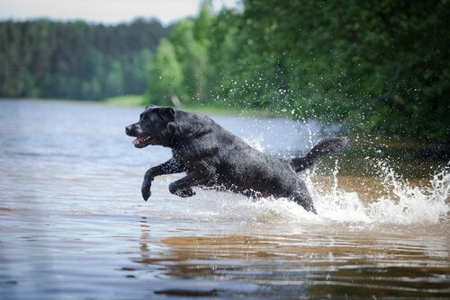 Labrador ratuje dwa pozostawionew kanoe psy