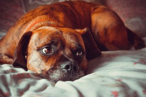 Wystraszony pies na łóżku