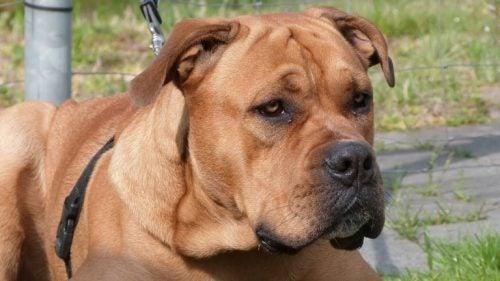 Ca de Bou czyli pies z Majorki