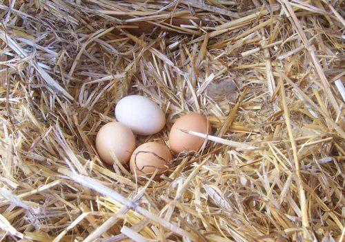 Jakość jaj kurzych – jak ją poprawić?