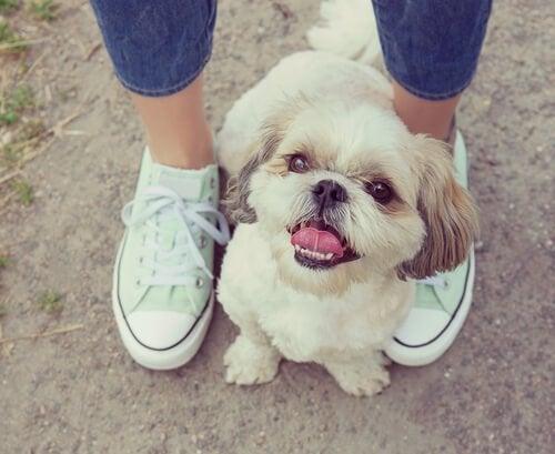 Dlaczego psy lubią przebywać w naszych nogach?