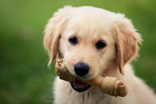 Pies z gryzakiem