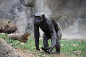 szympans
