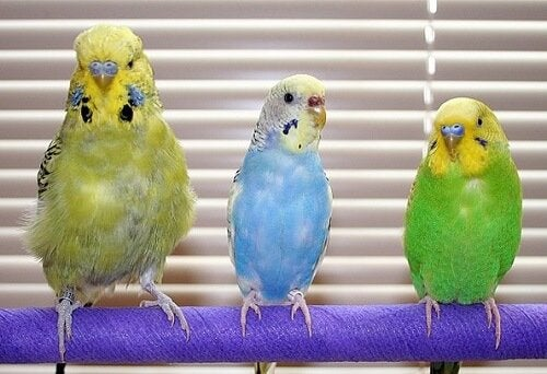 Papużki faliste: najczęstsze choroby