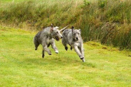Dwa wilczarze irlandzkie biegną