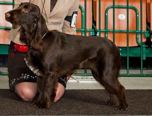 Rasa psów myśliwskich: field spaniel