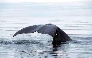 wieloryb