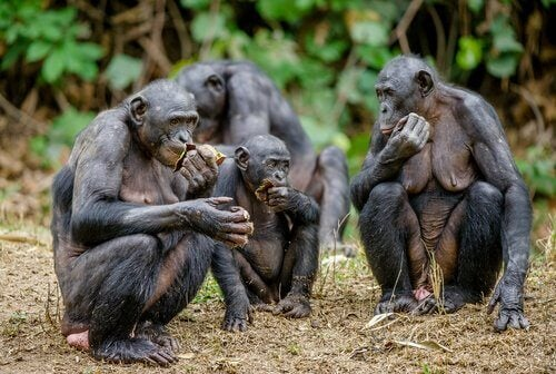 Samice alfa - małpy bonobo.