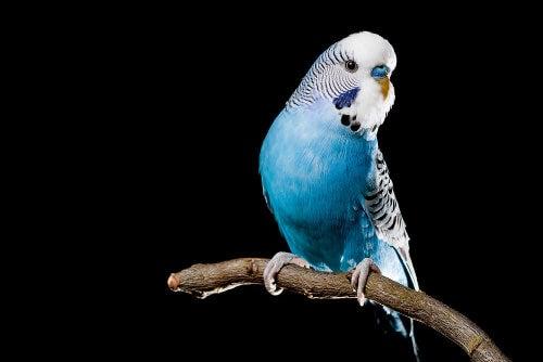 Papużka niebieska