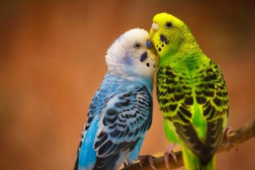 Wierne papużki: ptaki oddane swojemu partnerowi