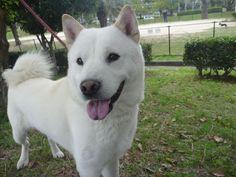 biały pies hokkaido