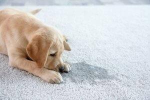 pies i mocz na dywanie