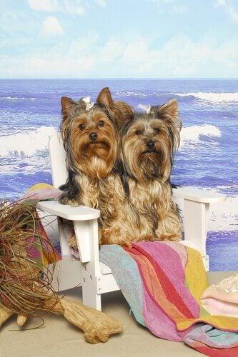 Dwa Yorkshire terriery na plaży