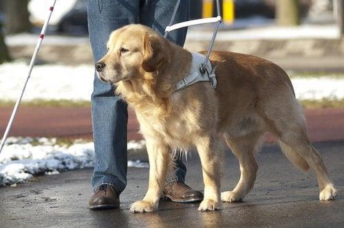 Jak wygląda życie psa przewodnika?