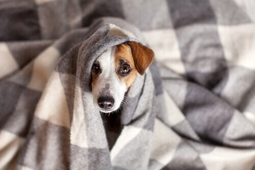 Koronawirus u psa: objawy i leczenie