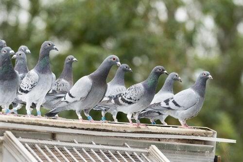 Gołębie na dachu