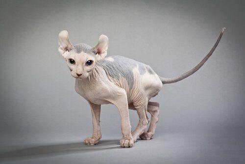 Elf: pozbawiony sierści kot z zakręconymi uszami