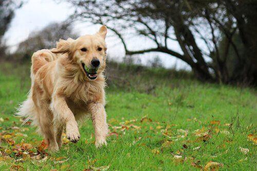 Golden Retriever potrzebuje ruchu