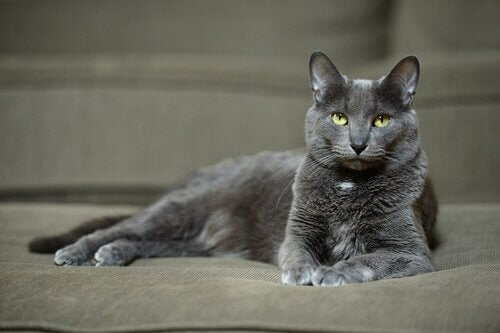 Korat – poznaj niezwykłą rasę kota