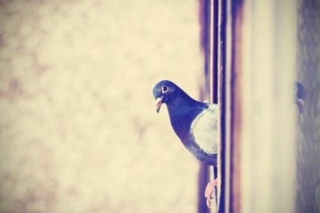 Gołąb w oknie.