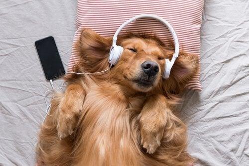 Pies słuchający muzyki.