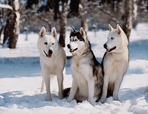 psy zaprzęgowe - husky