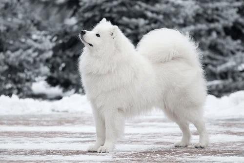 psy zaprzęgowe samojed
