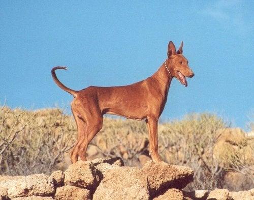 Podenco kanaryjski – bardzo osobliwa rasa psa.
