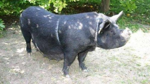 czarna świnia