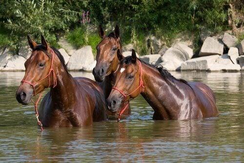 Konie kąpią się w rzece