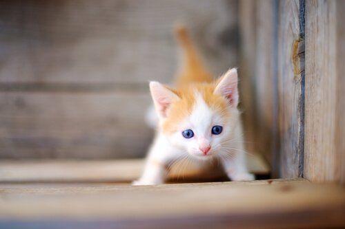Dwukolorowe umaszczenie kota
