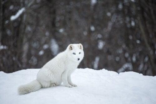Lisek polarny siedzi na śniegu