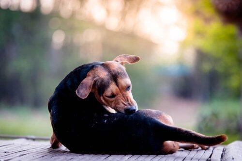 Pies gryzie swędzące miejsce