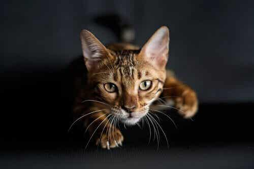 Polowanie - nauka łowieckich instynktów u kota